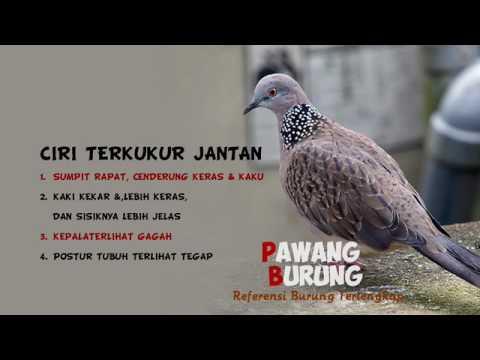 Ciri Burung Tekukur Jantan Betina Youtube