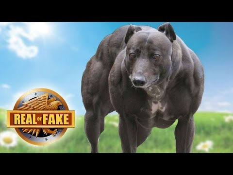 Top 10 Strongest Dogs in the World | Powerful Dog Breeds ...