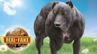 STRONGEST DOG IN THE WORLD - real or fake?