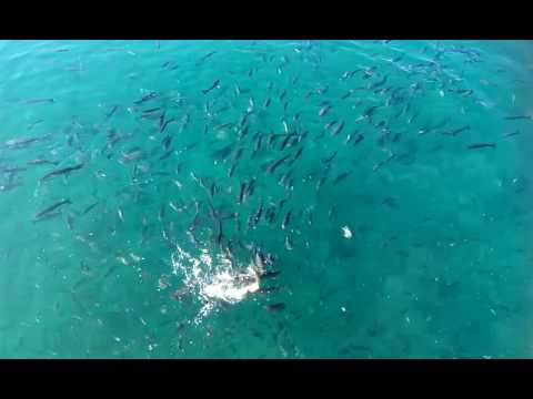 fish feeding on Fuenteventura