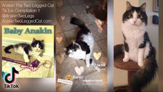 Anakin The Two Legged Cat TikTok Compilation 1 @anakintwolegs