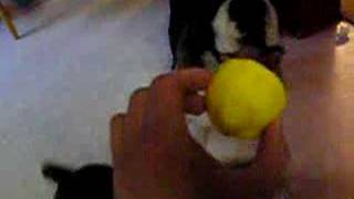 Boxer Vs. Lemon