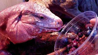 붉은공룡 새로운맛에 눈알이 돌아버립니다.
