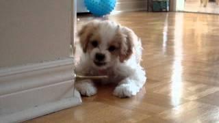 ドアストッパーを発見!初めて見るバネの動きに夢中な子犬