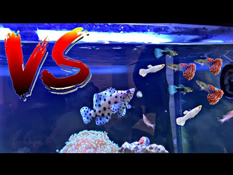 PANTHER GROUPER VS COLORFUL GUPPIES
