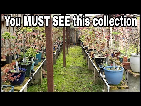 Spring Garden Tour 2019  Largest Personal Japanese Maple Bonsai Collection
