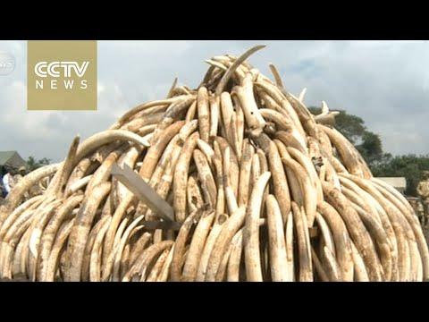 Kenya to burn large stockpile of ivory, rhino horns