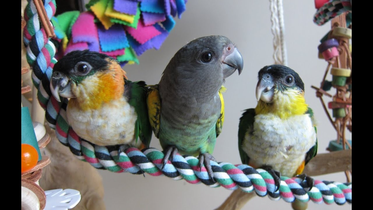 Jasper Mavis And Merlin Play Time Meyers Parrot And Black Headed Caique Babies