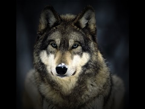 13 Incredible WOLF Facts Everyone Should Know