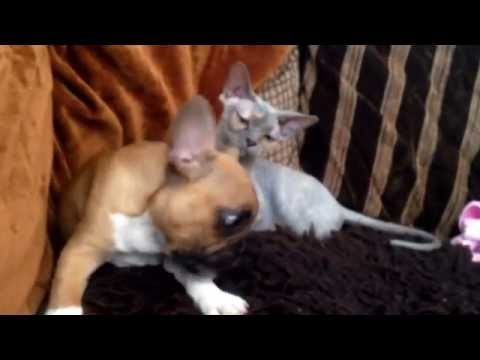 French Bulldog plays with Sphynx Cat (Arthur & Moon)
