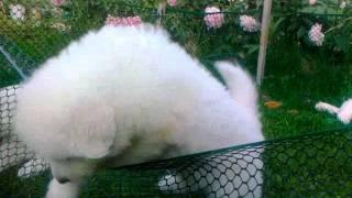 Щенки Мареммо-Абруцкая овчарка (Маремма)