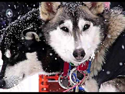 100 sled dogs slaughtered - Outdoor Adventures Whistler