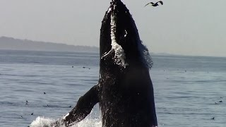 10.6.15 Breaching Humpback Whales & Common Dolphins #Monterey #Travel #Adventure