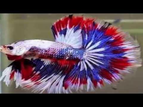 78+ Gambar Animasi Ikan Cupang HD
