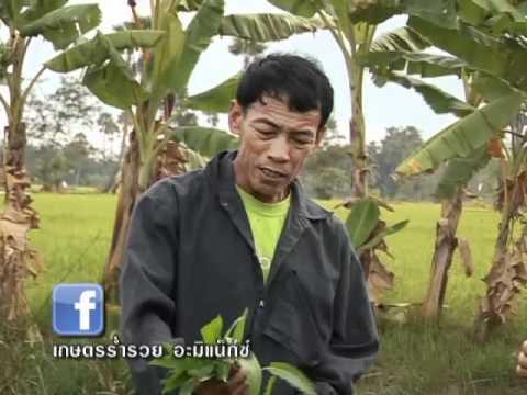 เกษตรร่ำรวย_ผักบุ้งจีน_ลุงมานิตย์