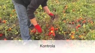 Pomidory, Stary Radziejów, woj. Kujawsko - Pomorskie