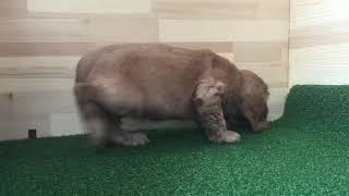 https://www.breeder-navi.jp/dog/67341 子犬販売ならブリーダーナビ|...