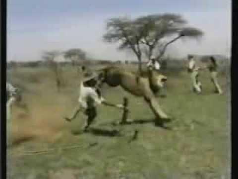 lion attack hunting safari africa youtube