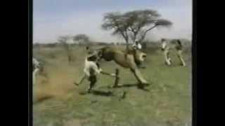 Lion Attack Hunting Safari Africa