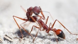 Bulldog Ants Fighting To The Death In Langwarrin Reserve - Victoria, Australia