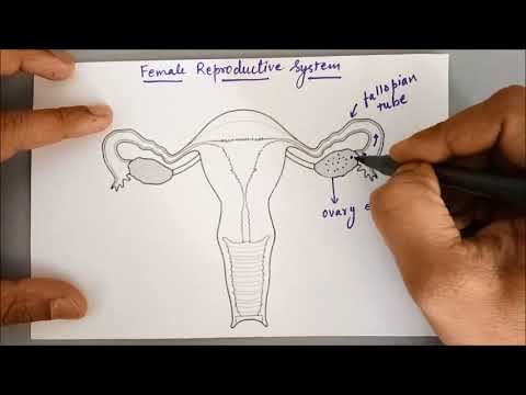Female Reproductive System simple explanation