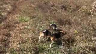 Skyview's Beagles Rob Nelson New Dog Run With Walker & Sue