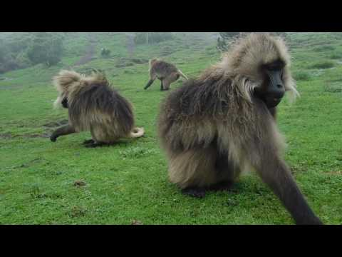 Gelada baboons (Theropithecus gelada) foraging in the Simien Mountains, Ethiopia
