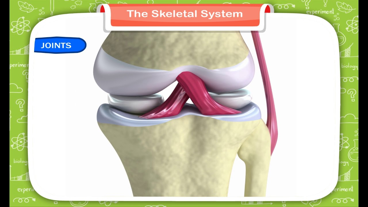 medium resolution of The Skeletal System class-5 - YouTube