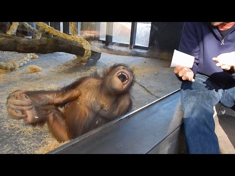 Do Orangutans Understand Magic?