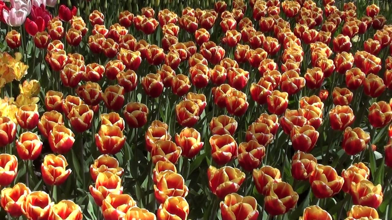 Keukenhof International Tulip Garden in Holland 2016-05-05 - Video 2 ...
