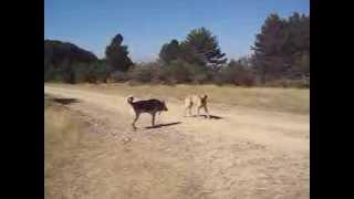 Kurt Kangal karşılaşması!
