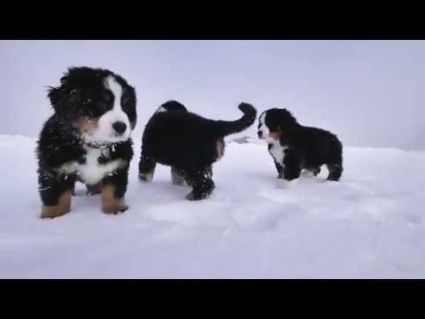Bernese Mountain Puppies Surprise Rippers Program Youtube