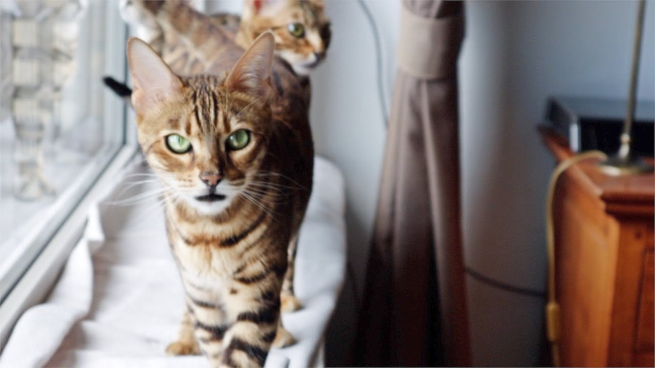 Bengal Cats are on the Hunt and Squeak for Prey