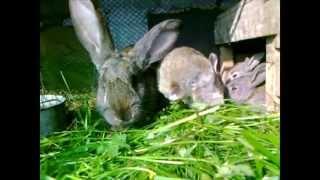 Słotkie Małe Króliczki jedzą świeżą zielona trawę, Small cute rabbits eat fresh grass