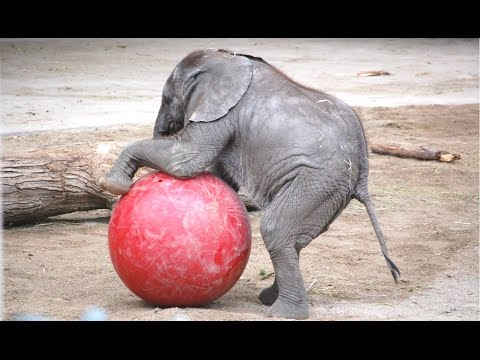 Cute Ba Elephant  A Cute And Funny Ba Elephant s Compilation  NEW HD