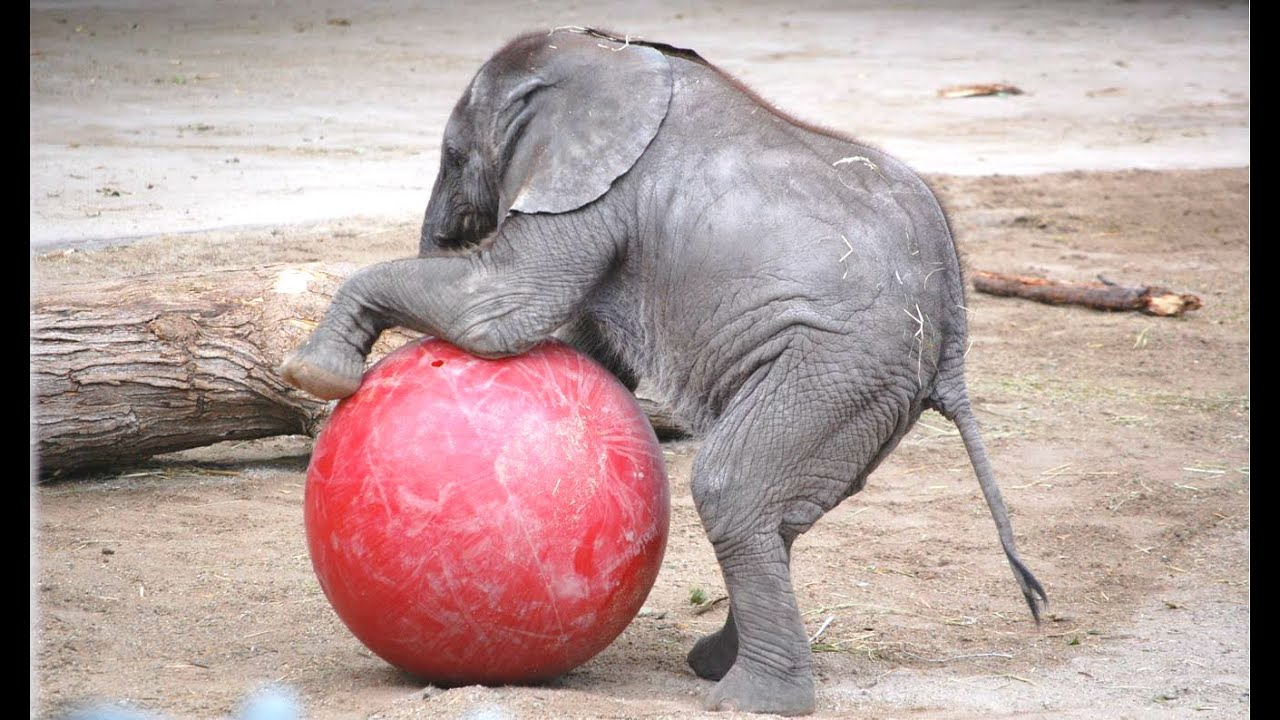 cute baby elephant a cute and funny baby elephant videos