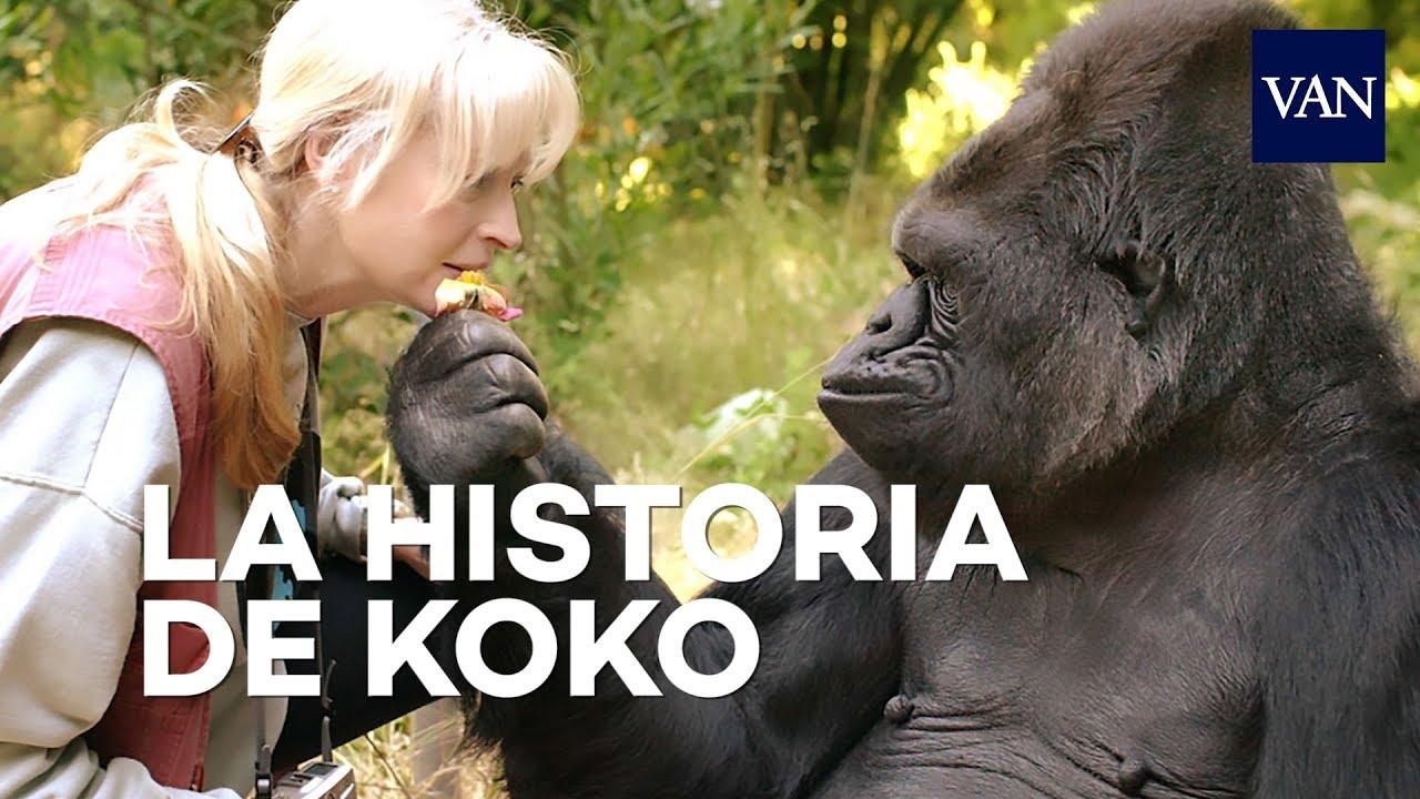 Download La maravillosa historia de Koko, el gorila que hablaba