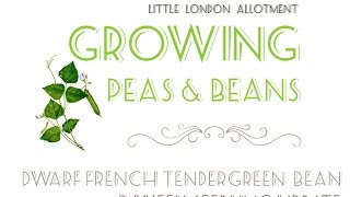 How to grow Dwarf French Tendergreen Bean 🌱Seedlings update 2 weeks on