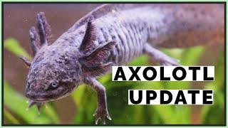 Axolotl Aquascape with Aquarium Co-Op!