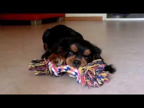 cavalier king charles spaniel puppy - black and tan 5