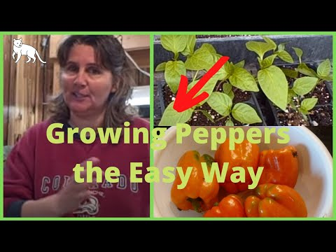 Ep 340 Growing Peppers From Seed Using Paper Towel Method