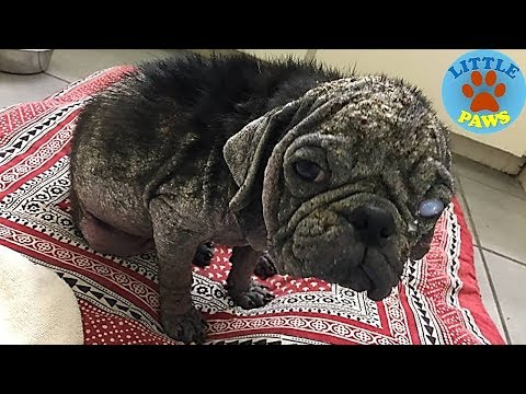 Abandoned Pug Unrecognizable After Rescue Group Steps In
