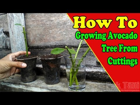 Growing And Rooting Avocado Trees From Cuttings By Grafting Examples