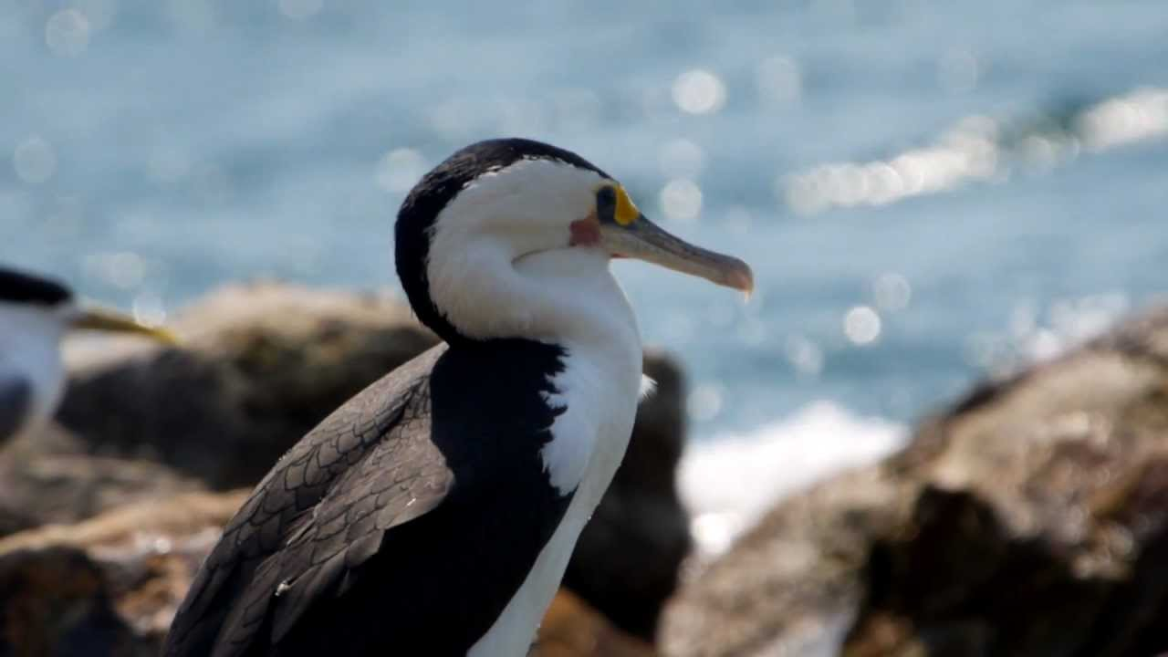 australian pied cormorant  phalacrocorax varius     elsterscharbe - 1