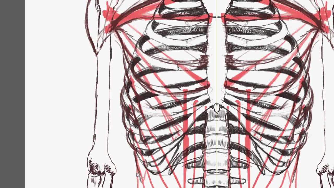 Human Anatomy How To Draw Muscles Of The Torso Front View Youtube