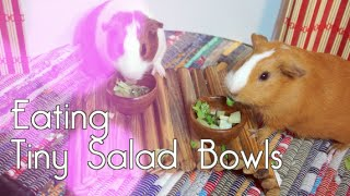 Guinea Pigs Eating Tiny Salad Bowls