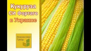 Кукуруза СИ Фортаго в Украине