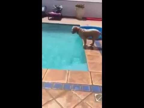 Smartest dog in the world gets tennis ball out of pool!!