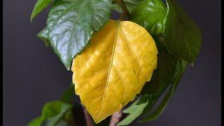 Почему желтеют листья гибискуса
