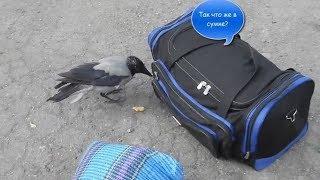 Самая умная ворона - Funny Animals